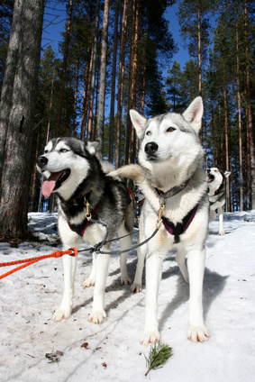 Huskeys in Lappland